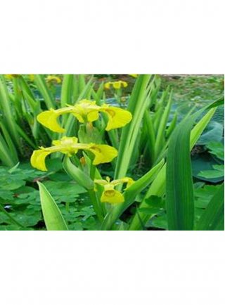 Assortimento 3 piante da bordo in fiore