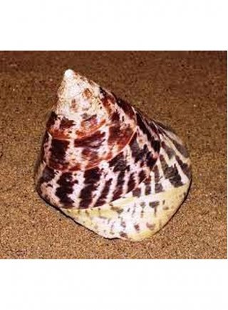 Tectus Niloticus xlg sp n. 1 Esemplare
