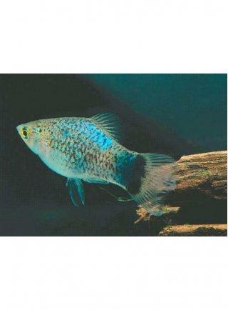 Platy Glowlight Blu Coral lg n. 4 Esemplari