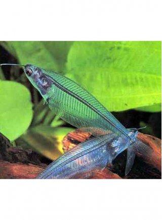 Kryptopterus Bicirrhis lg Pesce Fantasma n. 4 Esemplari