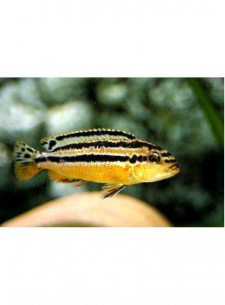 Melanochromis auratus medio-grande