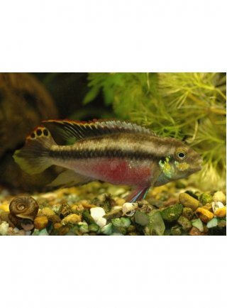 Pelvicachromis Pulcher Extra Grande 1 Esemplare