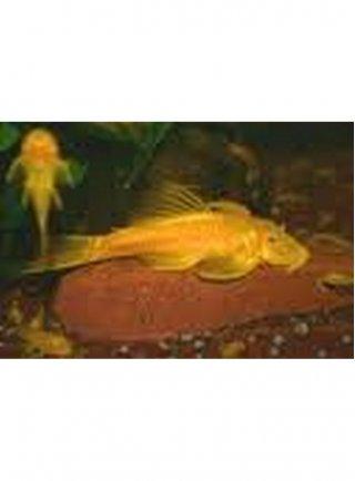 Ancistrus Gold ml n. 1 Esemplare