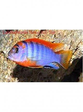 Labidochromis Hongi Super Red Top ml n. 1 Esemplare