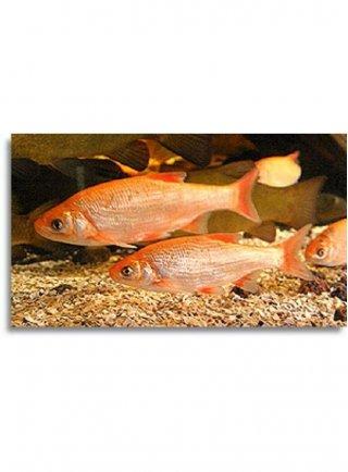 leuciscus idus gold 10-12 cm