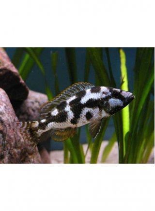 Nimbochromis Livingstonii Medio 1 Esemplare
