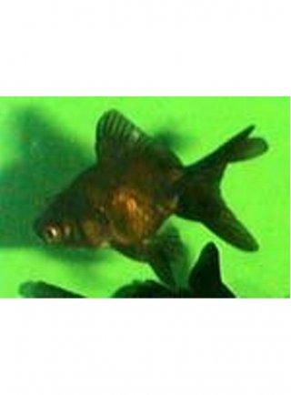 Orifiamma black moor 5-6 cm n° 4 esemplari