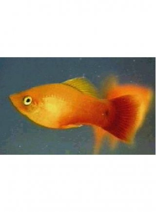 Platy Glowlight Sunset lg n. 4 Esemplari