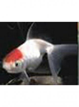 Orifiamma red cap 5-6 cm