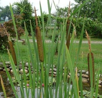 Assortimento piante da bordo canneti 3pz petingros for Piante da laghetto