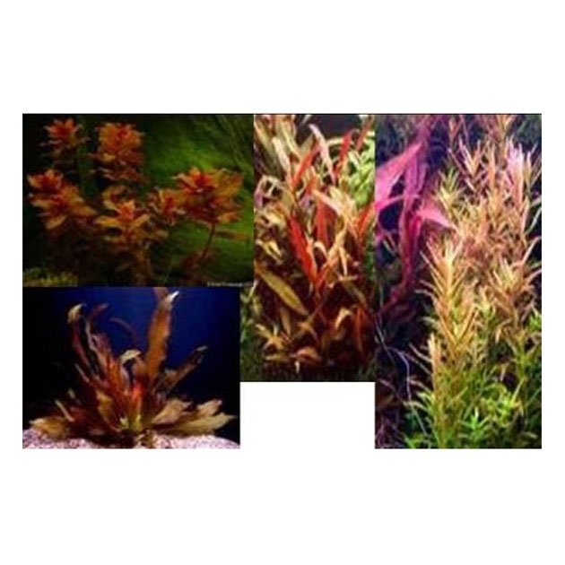 Piante Alte Acquario : Assortimento le rosse piante petingros