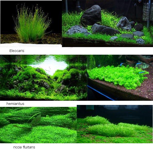Assortimento 3 piante prato zen piante petingros for Acquario acqua dolce